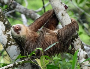 "Picture of a two-toed sloth hanging sleepily from a branch with the caption ""Why does Netflix always ask if I'm still watching?"""