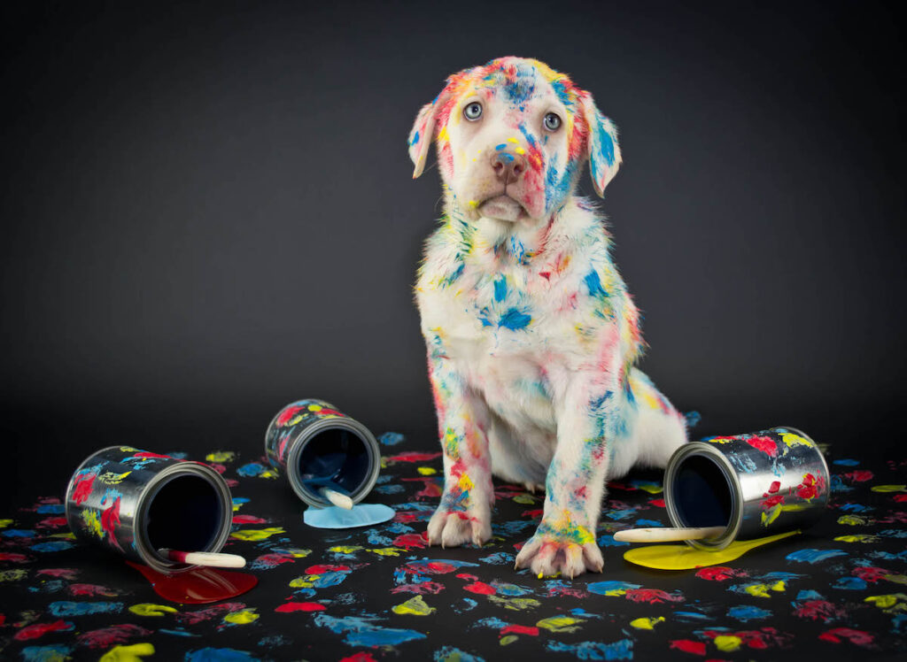Adorable white lab puppy covered in messy, bright paint, looking remorseful.